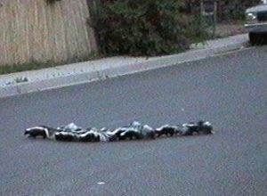 A family of skunks crossing the road