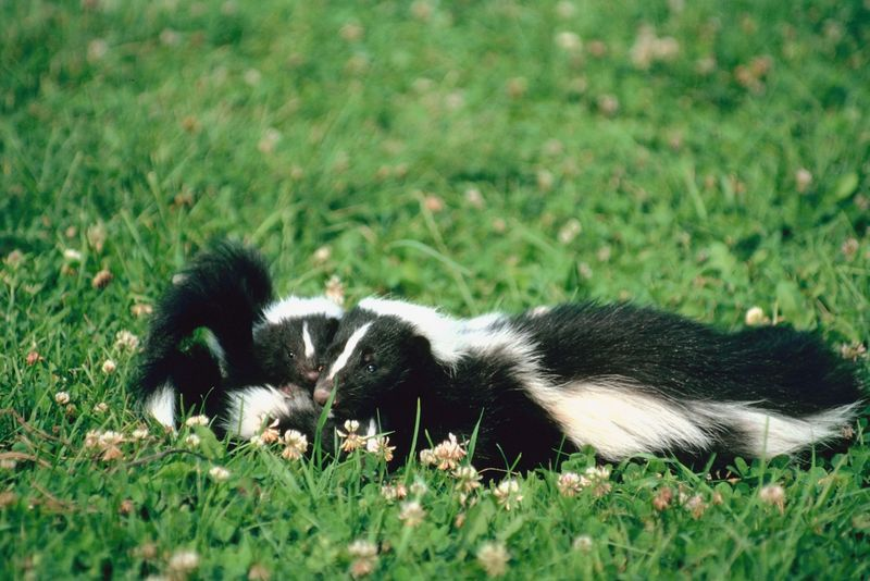 Baby Skunks are Also Known as a Kit - Scurlock Farms