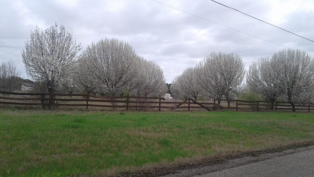 Beautiful Bradford Pears are in full bloom all over town