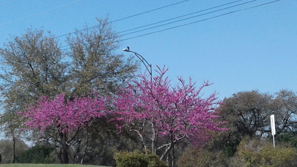 Redbud trees are blooming all over Georgetown and Scurlock Farms