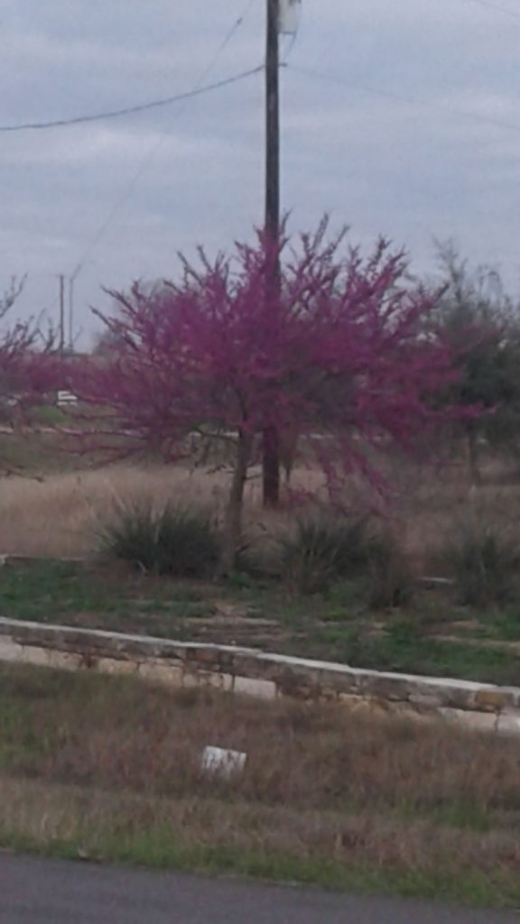 Redbud trees are blooming all over the Texas Hill Country